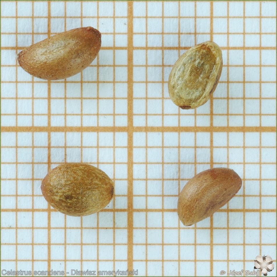 Celastrus scandens seeds - Dławisz amerykański nasiona