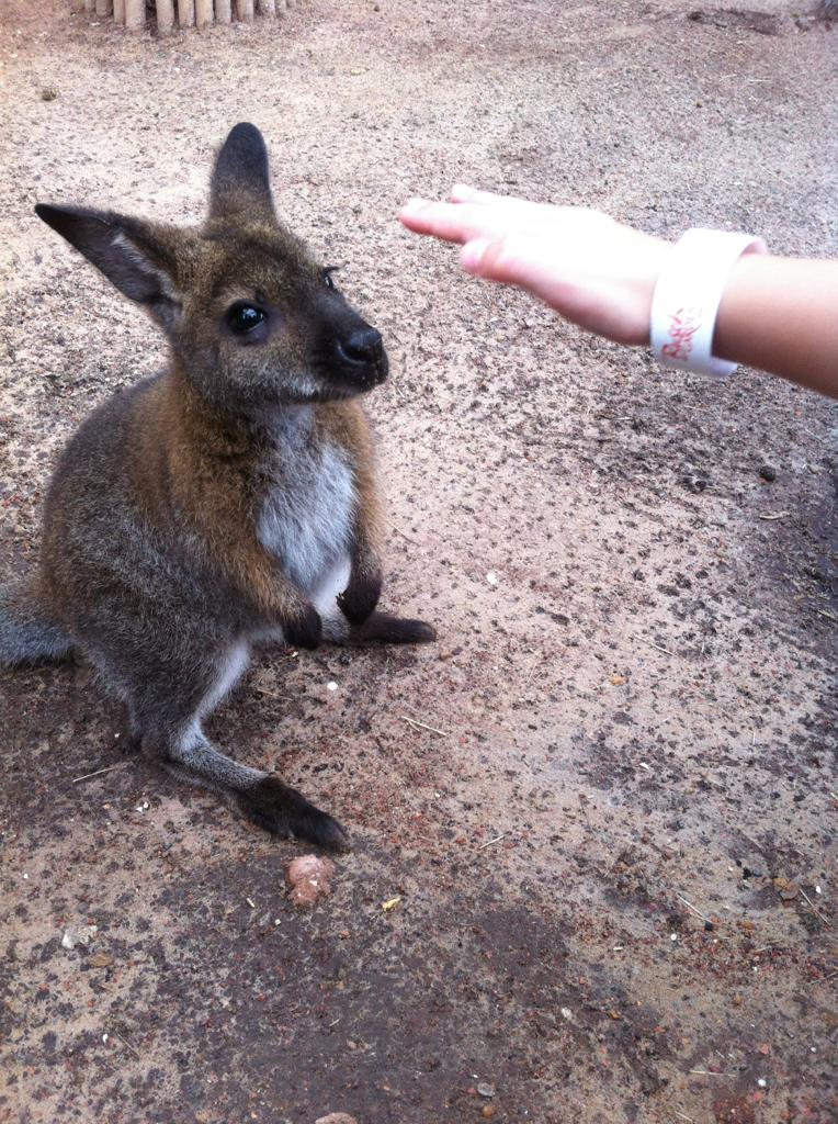 funny animals, animal pictures, cute wallaby