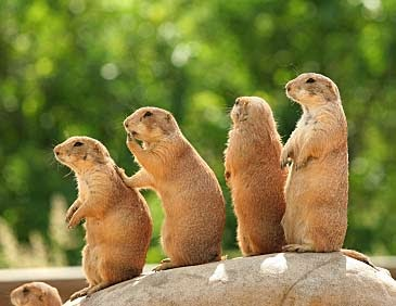 Prairie Dogs Eat Own Baby Video
