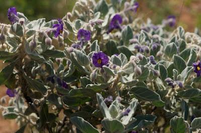 Flannel Bush (Solanum lasiophyllum)