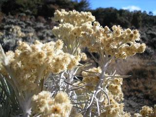 bunga edelweis di puncak lawu