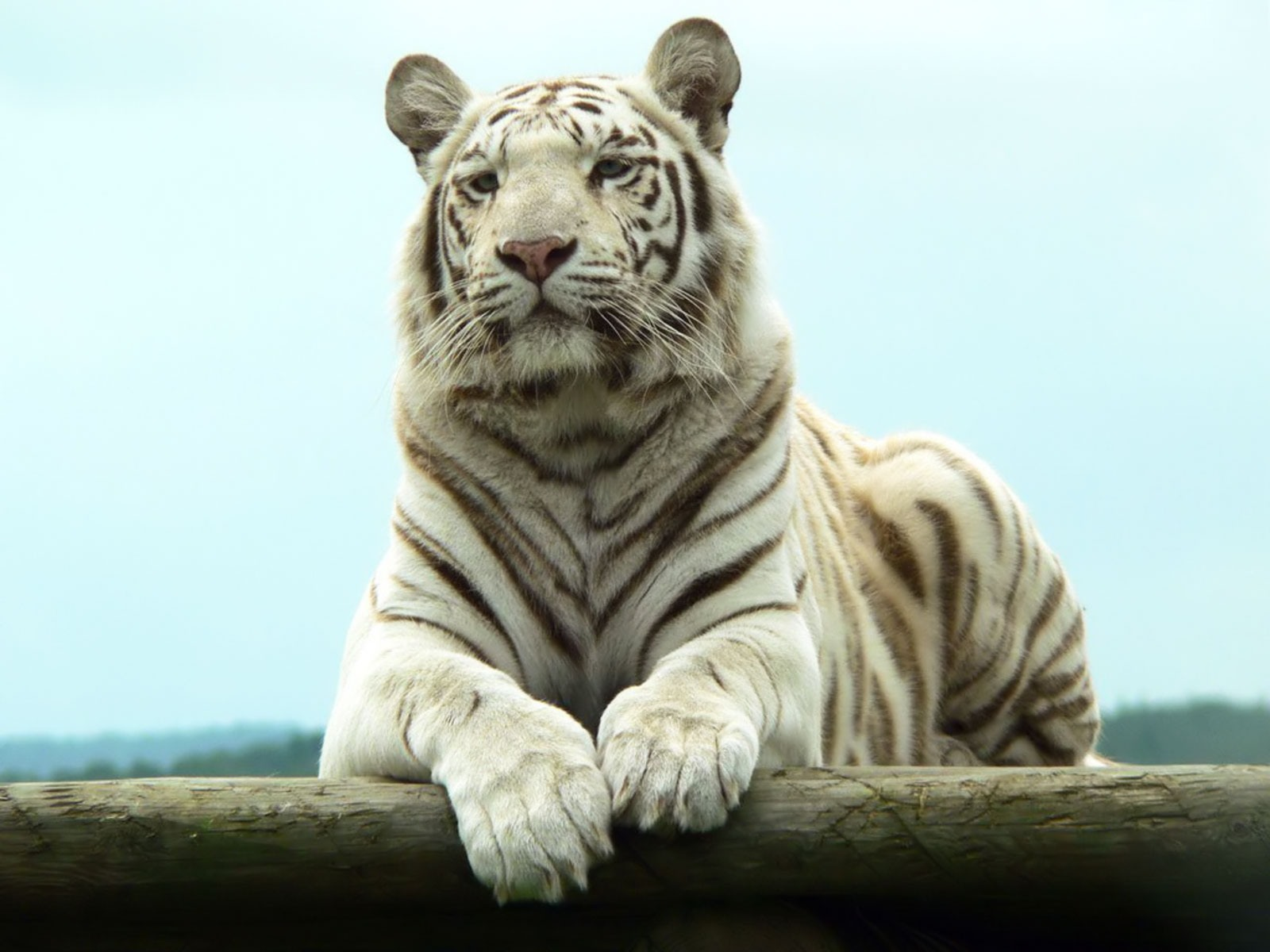 white tigers beautiful latest hd pictures wallpapers 2013