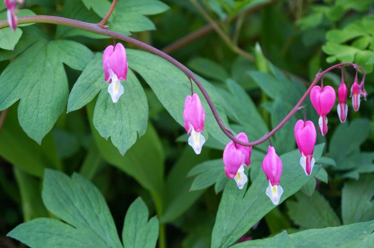 Beautiful pink bleeding hearts.