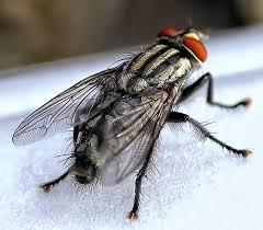 Lalat Kecil yang Hina