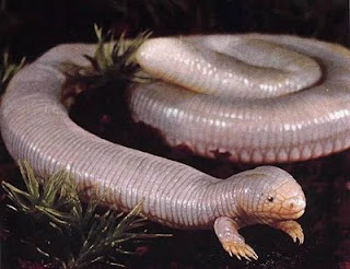 Unbelievable: Snake with legs [Photo]