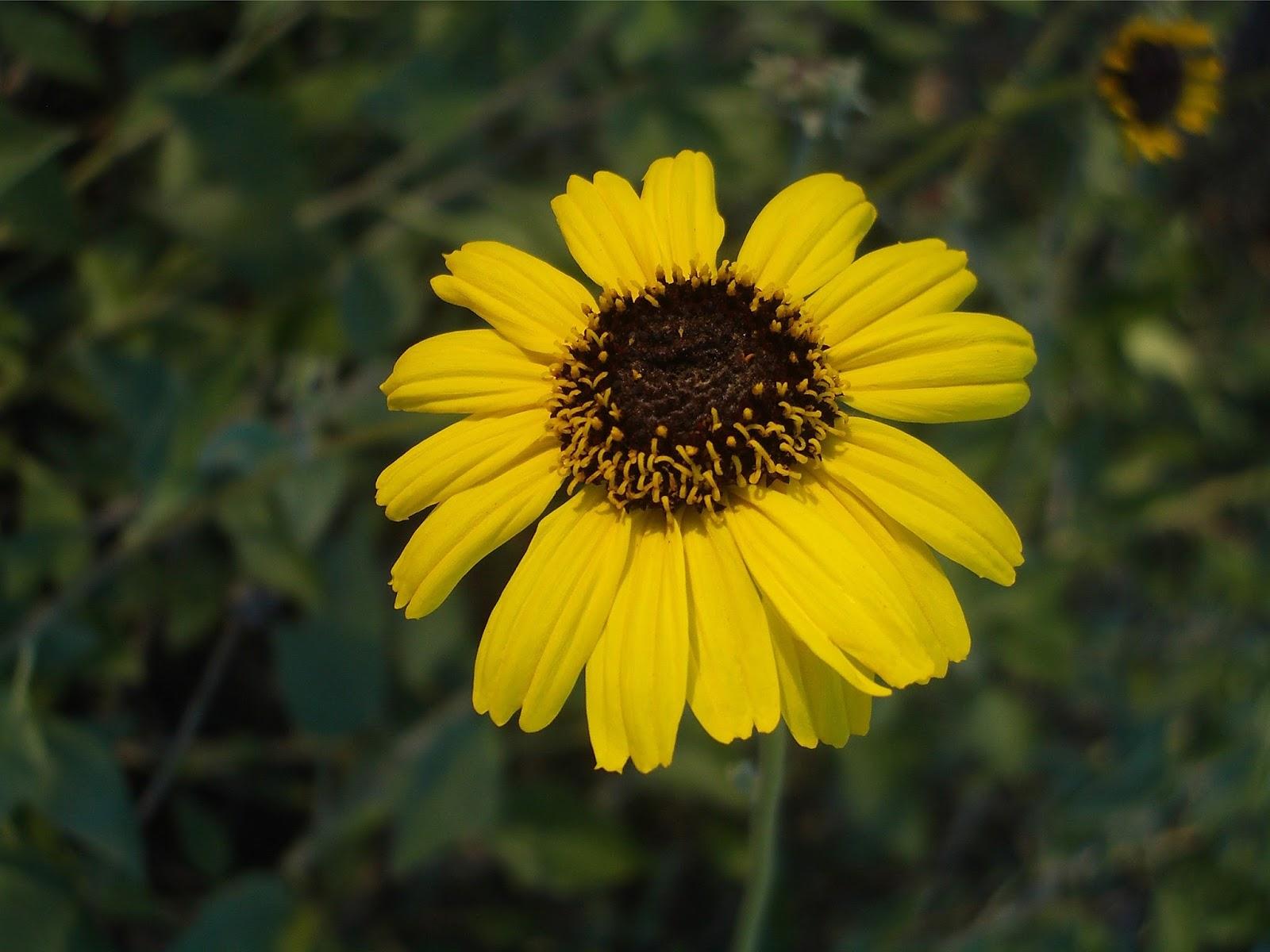 California Sunflower by Cliff Hutson