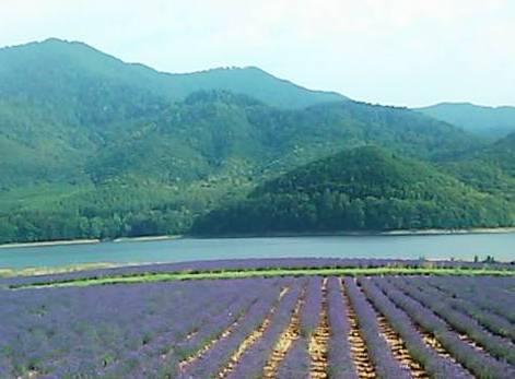 紫色の南富良野ラベンダー畑,色