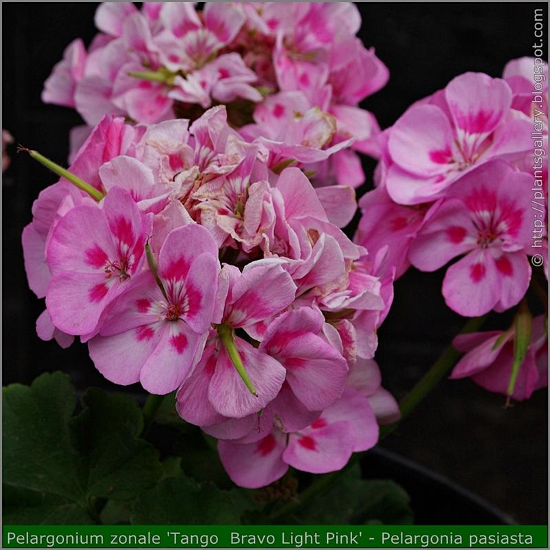 Pelargonium zonale 'Tango  Bravo Light Pink' flowers - Pelargonia pasiasta  'Tango  Bravo Light Pink'  kwiaty
