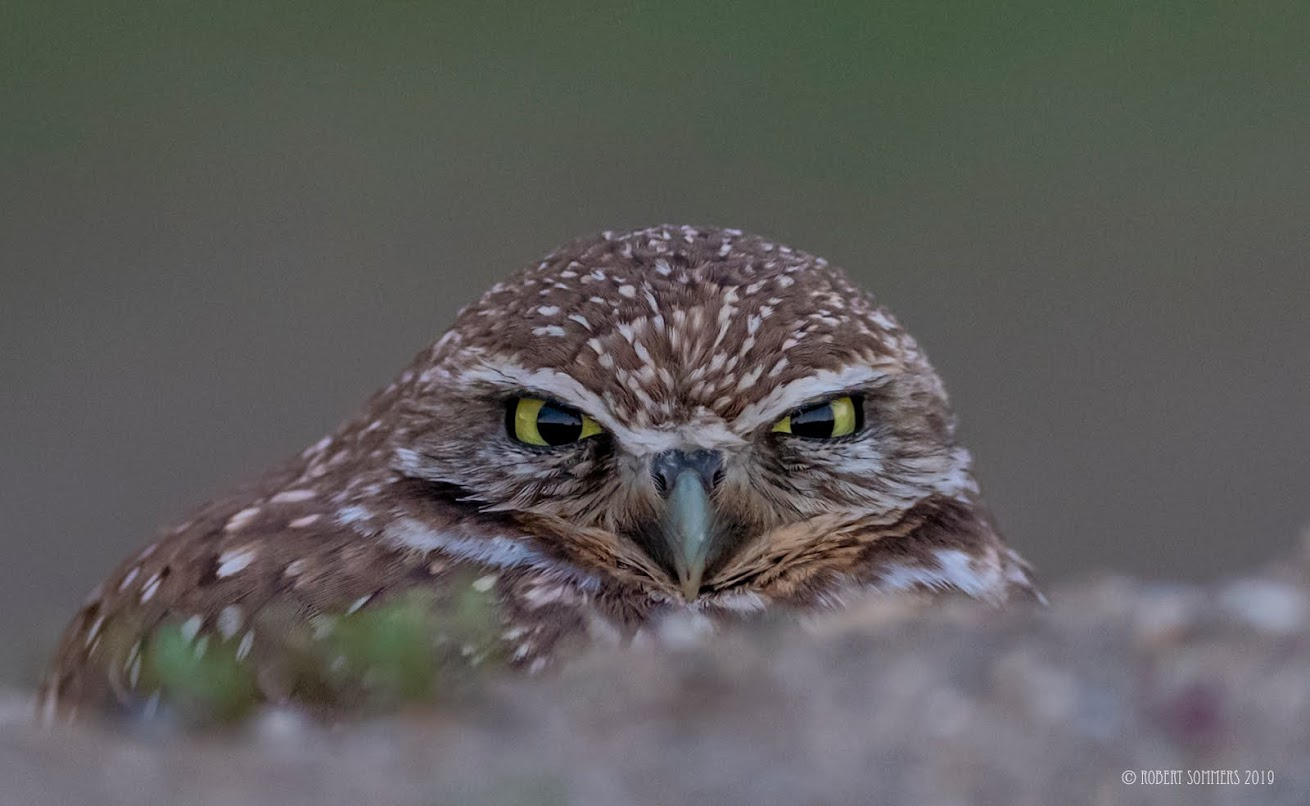 Burrowing owl at twilight