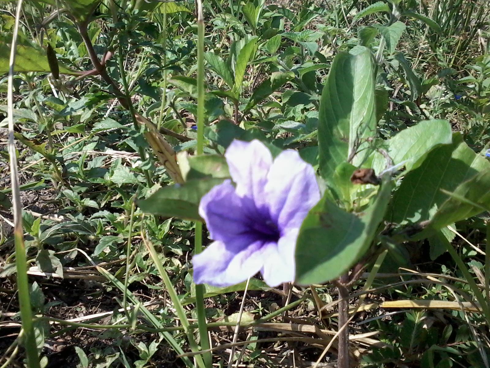 bunga liar