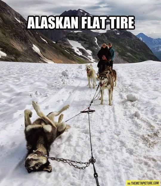 flat tire, alaskan flat tire, iditarod, snow dog, sled dog, mush