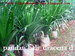 tanaman hias pandan bali untuk disewakan