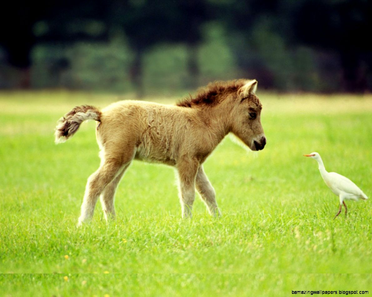Cute Miniature Horse Baby New HD Wide Wallpapers For Background