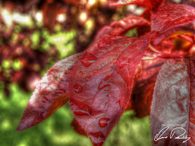 red leaf leaves wet rain raining drop drops water