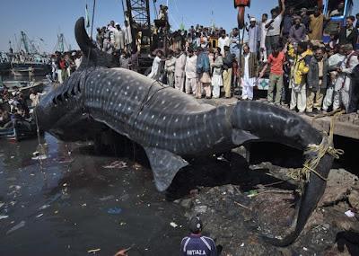 Hiu Paus Raksasa Terdmpar di Karachi, Pakistan