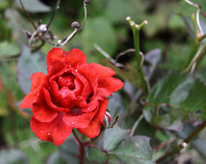 Les dernières roses...sont comme les premières , très attendues!