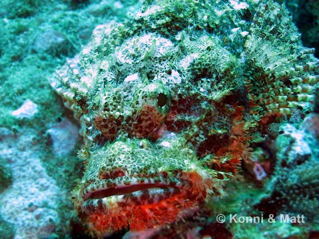 Scorpionfish, Koh Lipe, Straits of Malacca, Thailand