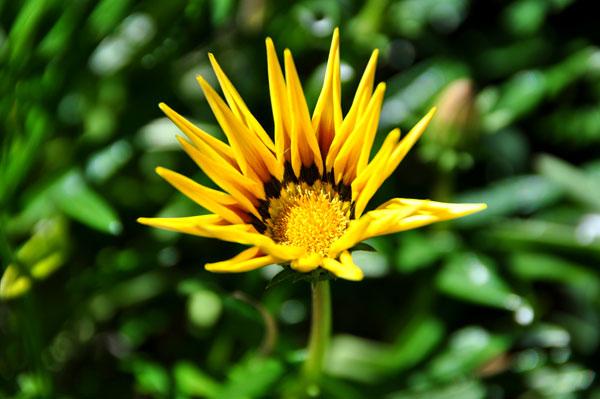 Sydney yellow flower