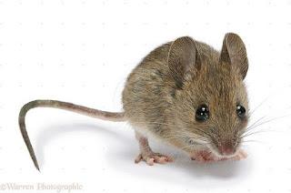 التعديل الجيني يجعل فئران التجارب فائقة الذكاء