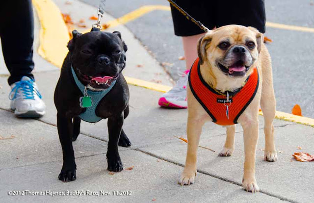 Dogs ready for a 5k at Buddy's Race Against Cancer, fall 2012, Thomas Haynes Photography