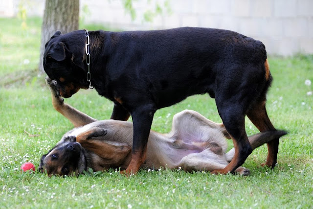 Belgian Malinois and rottweiler playing together