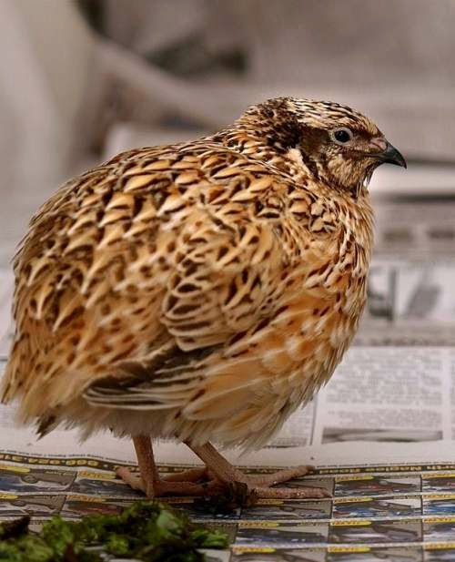 Indian bird - Japanese quail - Coturnix japonica