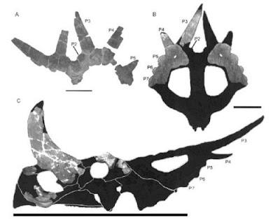 Rubeosaurus skull