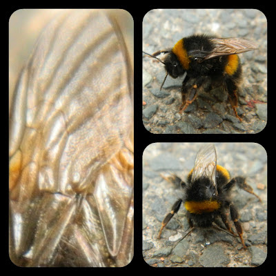 silent sunday, bumble bee,
