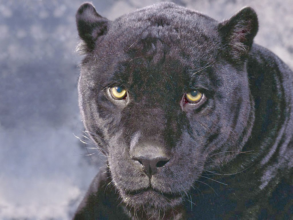 Angry black jaguar - photo#5