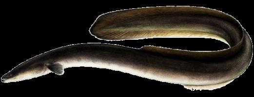паразиты речных рыб опасные для человека