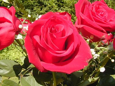 Gambar Bunga Rose Merah