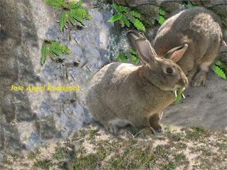 Conejo de monte-1