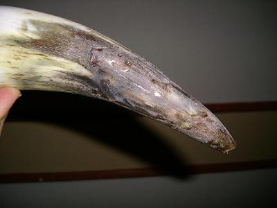 Detalle de daños de un cuerno