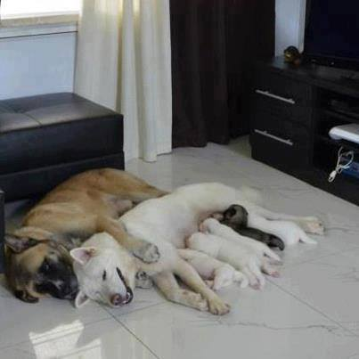 Parent dogs resting with their puppies