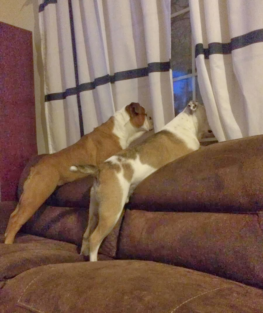 Cute dogs - part 7 (50 pics), two dog looking through the window