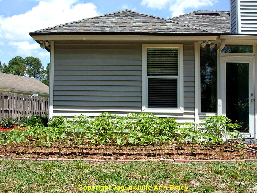 My Second Sunflower Garden at 43 Days ~ JaguarJulie