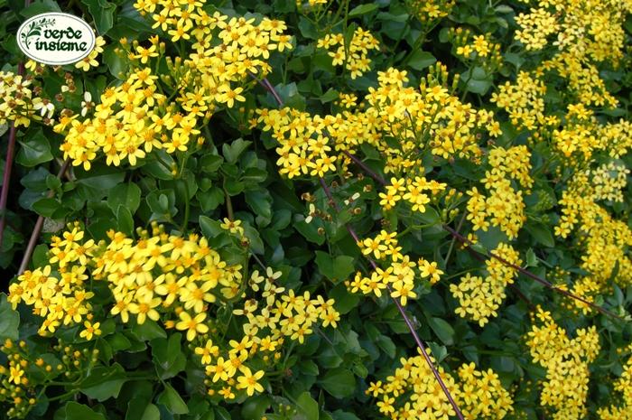 Senecio angulatus: giallo d'autunno