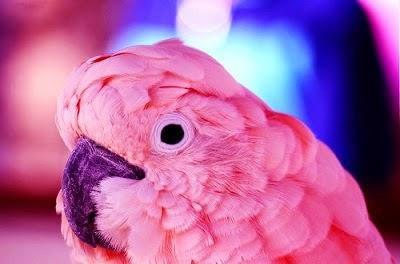 burung kakak tua bulunya pink