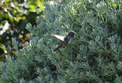 Canon 5D Mark III Hummingbird in Flight