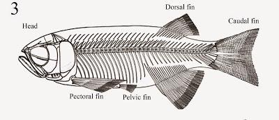 Paralycoptera skeleton