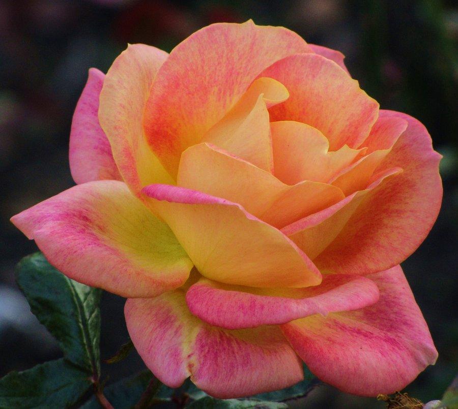 Banco de im genes 25 fotos de flores rosas de colores - Fotos de rosas de colores ...