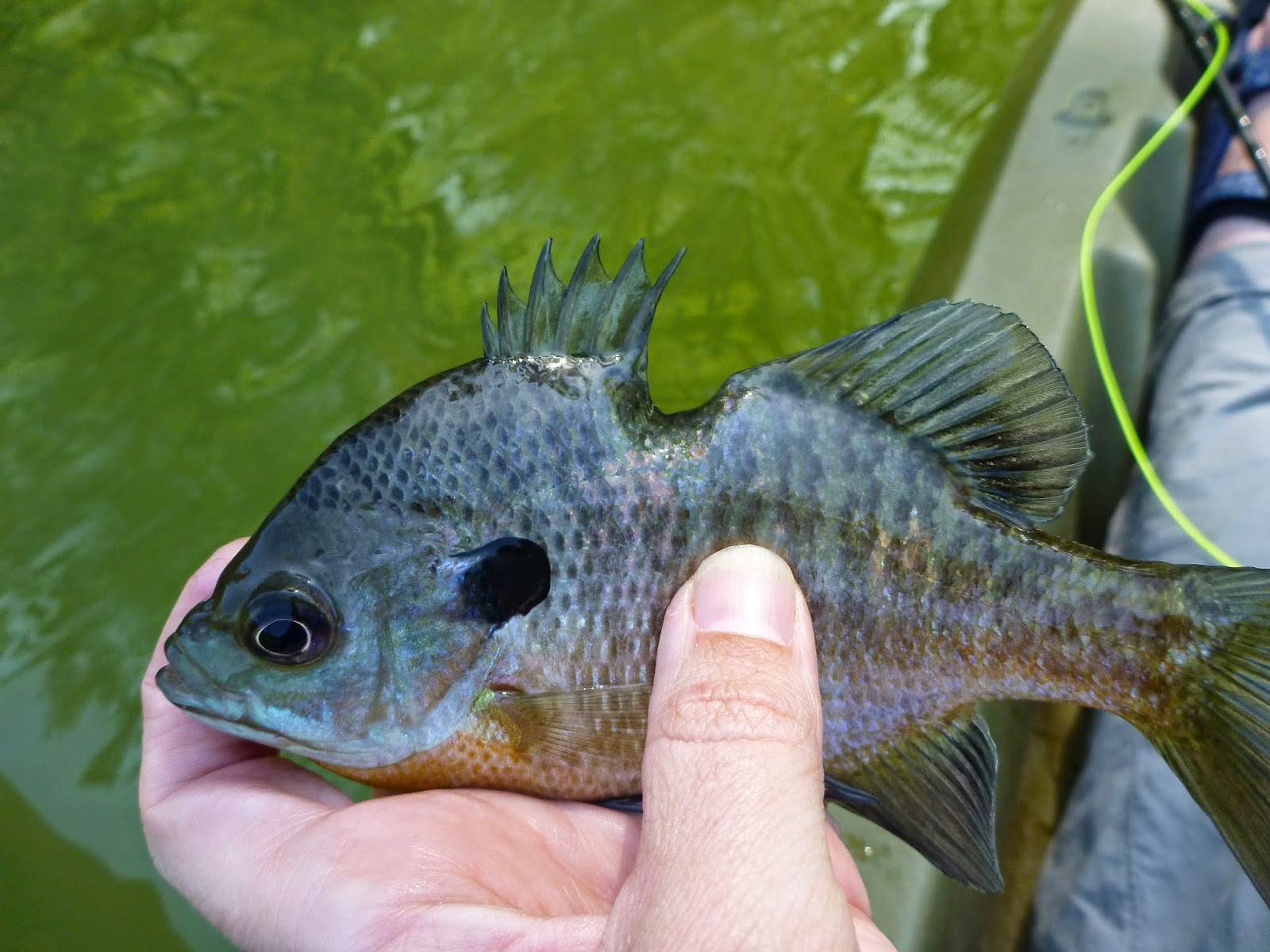 The naturalist 39 s angle easter bass and bluegill for Blue gill fishing