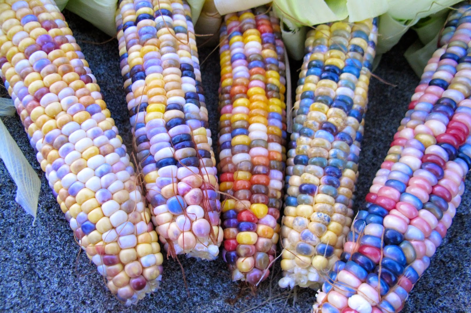 самая большая кукуруза фото