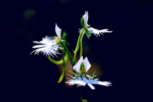 Radiata Pecteilis — A Flower  Ready to Fly