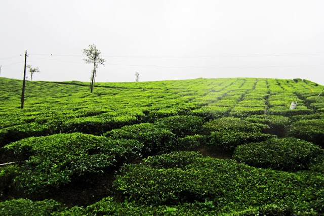 tea plants on a tea plantation
