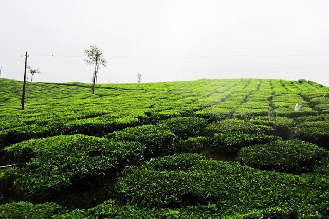 tea plants on a tea plantation