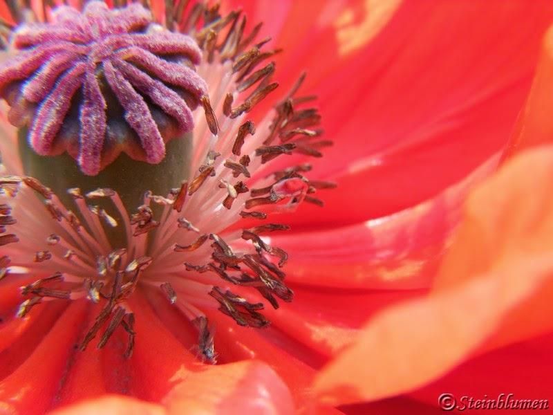 Gartenmohn Blüte