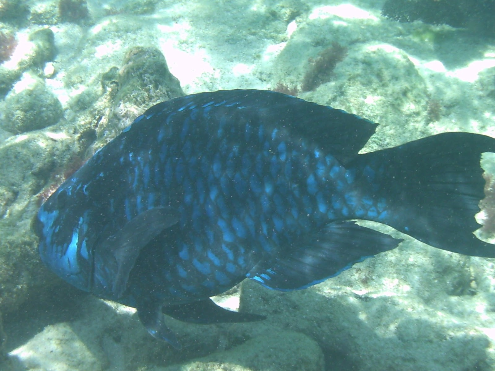 Cool change looes key and sombrero reef for Blue parrot fish