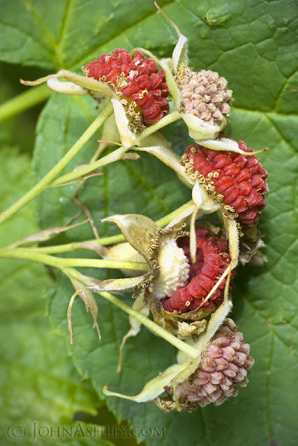 Thimbleberry fruit (c) John Ashley