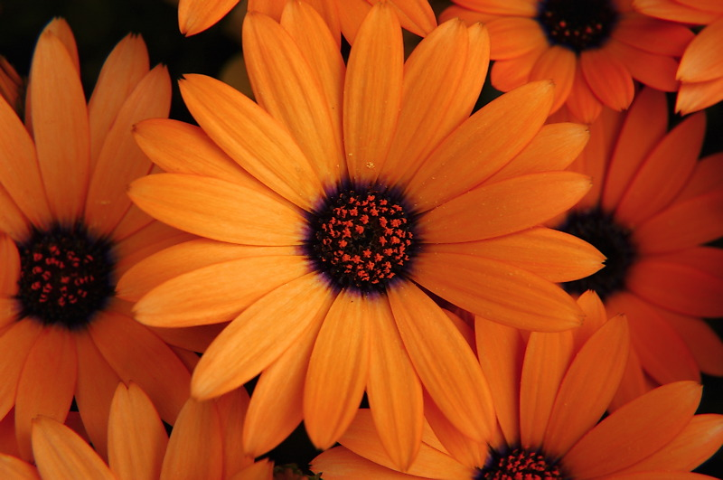 Orange Flowers ~ Flowers Wallpapers